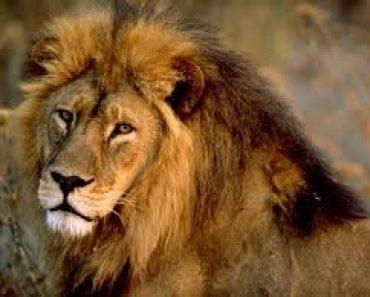 Leul Aslan, Regele, este periculos. Dar este bun